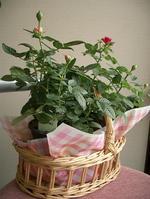 20061225sun_rose3