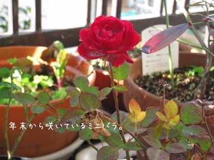 2000124thu_rose