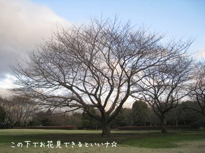 20090316mon_sakuranoki