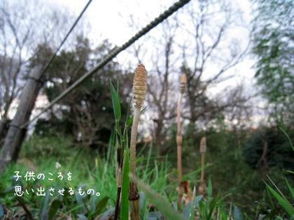 20090316mon_tsukushi